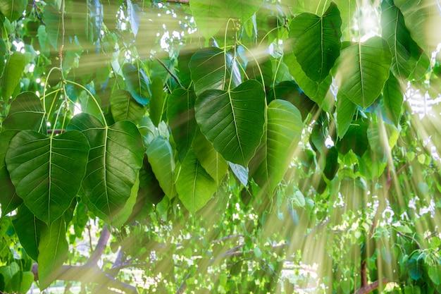 Raggi di sole attraverso gli alberi di banyan in tarda mattinata. bangkok, tailandia.