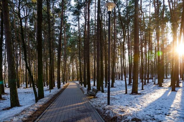 Raggi di sole del tramonto sera nella foresta di pini d'inverno
