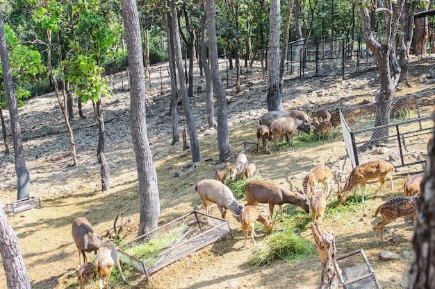 Raggruppi i cervi maschii femminili e maschio completamente sviluppati a mangiare erba fresca e fieno in zoo naturale.