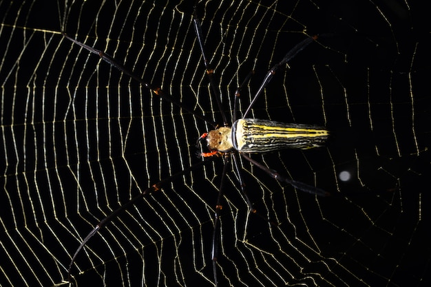 Ragno a macroistruzione sulla ragnatela