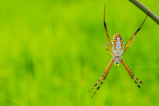 Ragno sulla ragnatela con sfondo di campo.