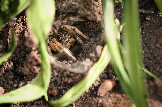 Ragno tarantola nel suo buco, da vicino.