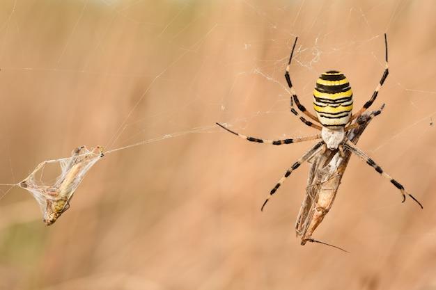 Ragno vespa (argiope bruennichi) con la sua preda nella macro della natura con la luce del tramonto