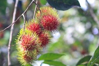 Rambutan rosso sull'albero rambutan