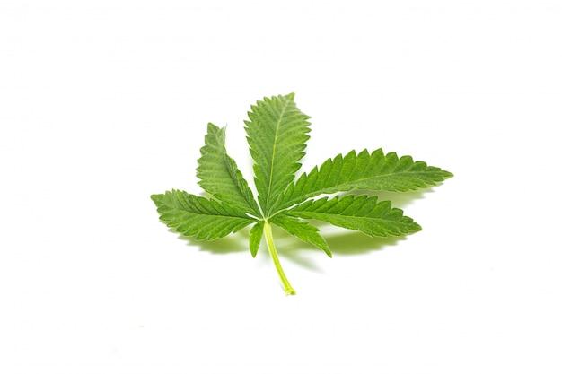 Rametto di cannabis verde, isolato, droghe illegali