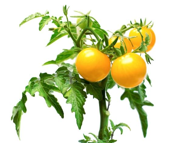 Rametto di pomodorini gialli su superficie bianca