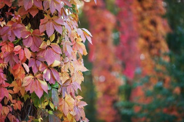 Rami dell'uva nubile in autunno. fogli di autunno multicolori dell'uva di una ragazza.