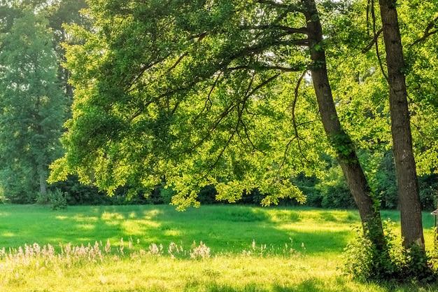 Rami della quercia sopra l'erba di campo verde