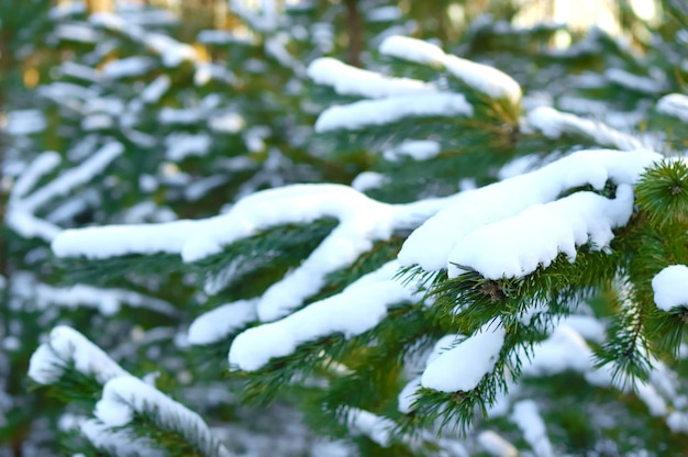 Rami di abete rosso congelati nevosi verdi di un bellissimo grande abete rosso che cresce nella foresta