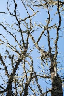 Rami di albero asciutti sopra il cielo blu di mattina. verticale.