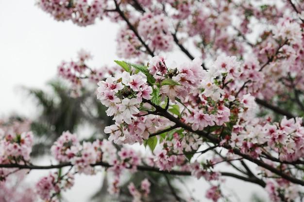 Rami di albero del fiore di ciliegia del primo piano
