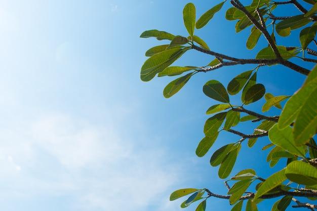 Rami di albero del frangipane contro chiaro cielo blu