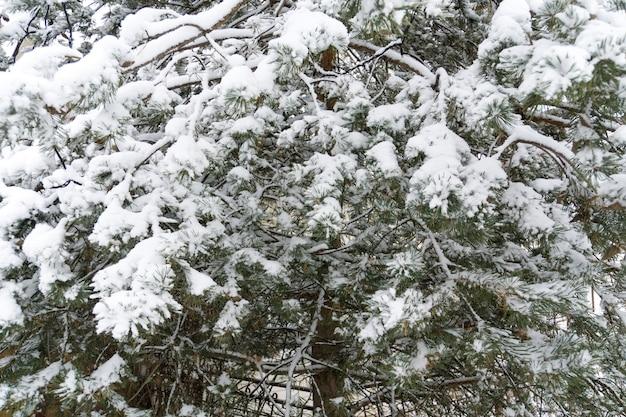 Rami di albero sempreverdi nella fine di inverno su