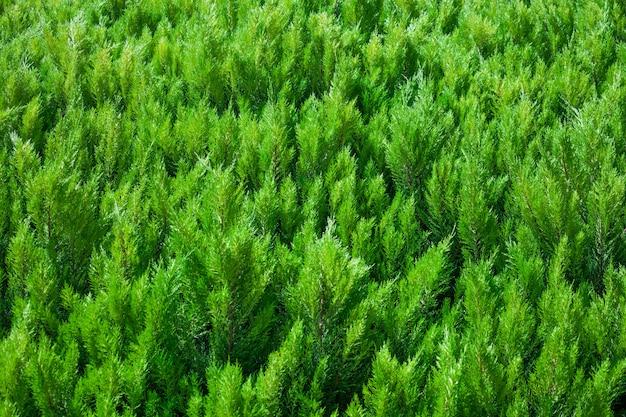Rami di conifere nella foresta