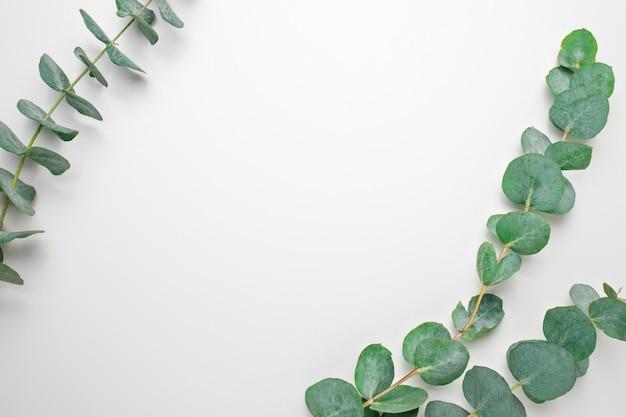Rami di eucalipto su uno sfondo bianco. vista piana, superiore, copia spazio