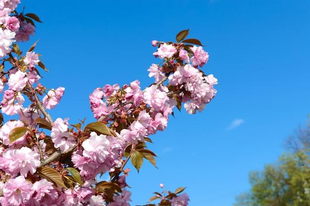 Rami di fioritura bella sakura contro il cielo blu. hanami. tempo di fioritura di sakura.