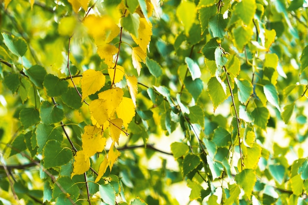 Rami di fogliame giallo e verde di betulla in una calda giornata di sole in autunno. estate indiana.