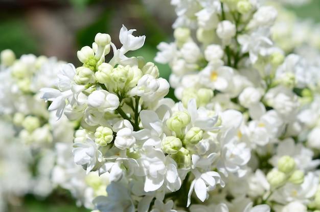 Rami di lillà bianco e foglie verdi.