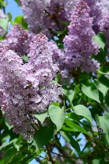 Rami di lillà viola e foglie verdi. ramo fiorito di lillà