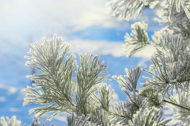 Rami di pino invernale con brina e luce solare. paesaggio invernale. sfondo natura invernale.