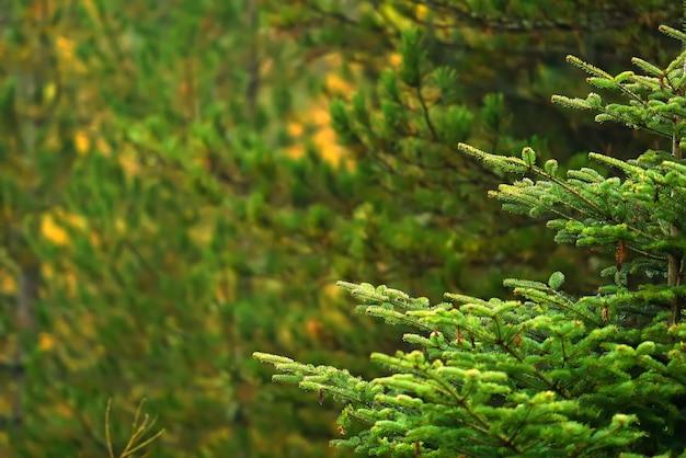 Rami di pino su sfondo sfocato bokeh