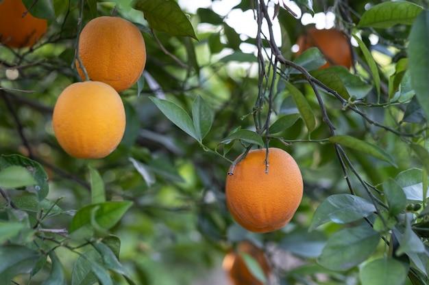 Rami di un albero di arancio con alcune arance da raccogliere