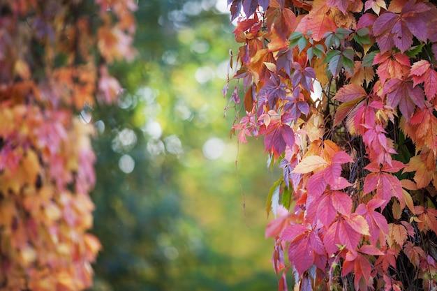 Rami di uva nubile in autunno.foglie di uva fresca su un bellissimo sfondo sfocato. fogli di autunno multicolori dell'uva da ragazza. messa a fuoco selettiva, copia dello spazio
