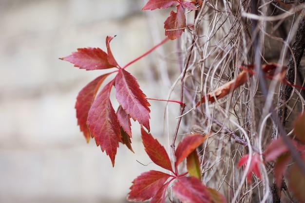 Rami di uva nubile in autunno.foglie di uva fresca su un bellissimo sfondo sfocato. foglie rosse di autunno dell'uva da ragazzina. messa a fuoco selettiva, copia dello spazio