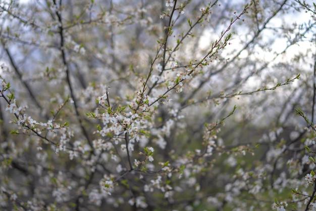 Rami fioriti di susino ciliegia