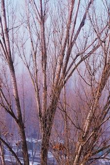 Rami spessi degli alberi di betulla in una foresta russa nell'orario invernale