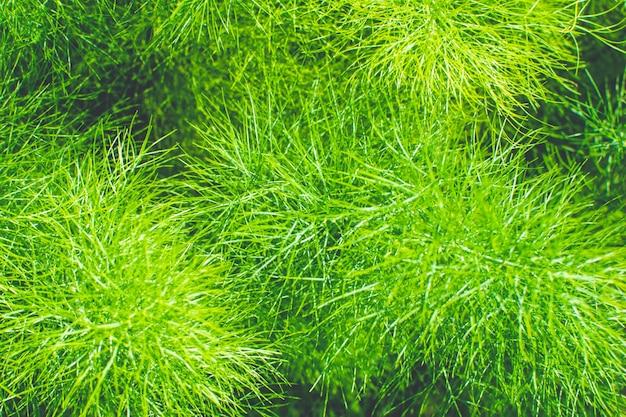 Rami verdi freschi di finocchio nel giardino