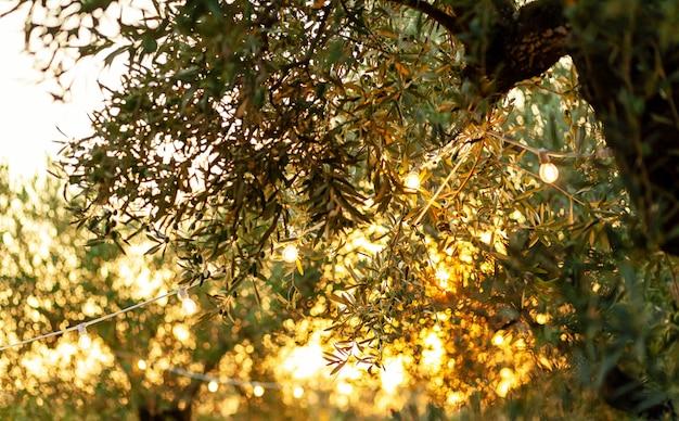 Ramo d'ulivo con lampadine vintage al tramonto.