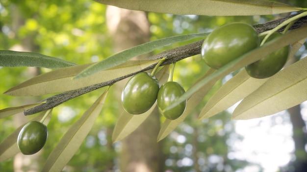 Ramo d'ulivo con olive e foglie in coltivazione