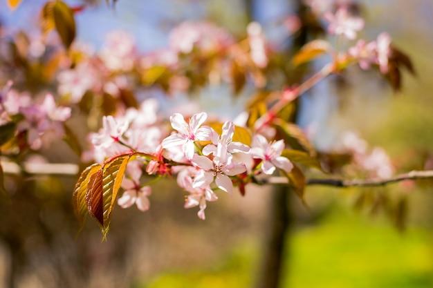 Ramo del fiore di sakura sotto l'ombra dell'albero di sakura dietro il raggio e il cielo blu di luce solare in fiore di ciliegia magnifico della parete. fioritura dei fiori di sherry. bellissimo fiore rosa.