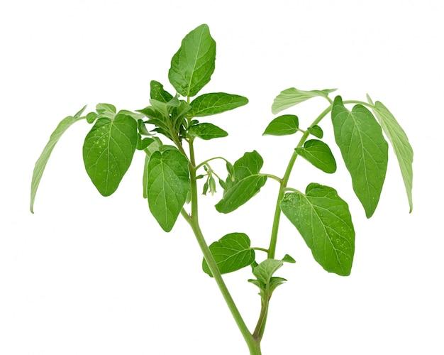 Ramo del pomodoro con le foglie verdi e i fiori unblown isolati su fondo bianco, fine su