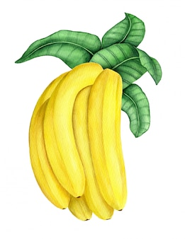 Ramo della banana con l'illustrazione dell'acquerello delle foglie verdi