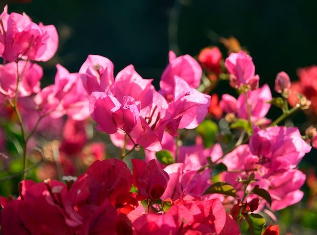 Ramo della fine del fondo vaga buio del ona dei fiori della buganvillea su.