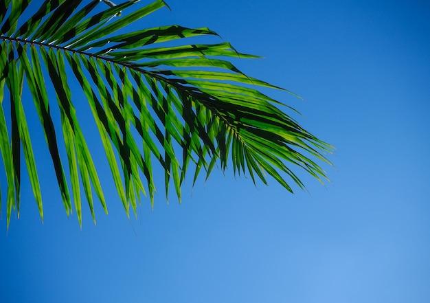 Ramo della palma o foglia della noce di cocco e soleggiato su chiaro cielo blu.