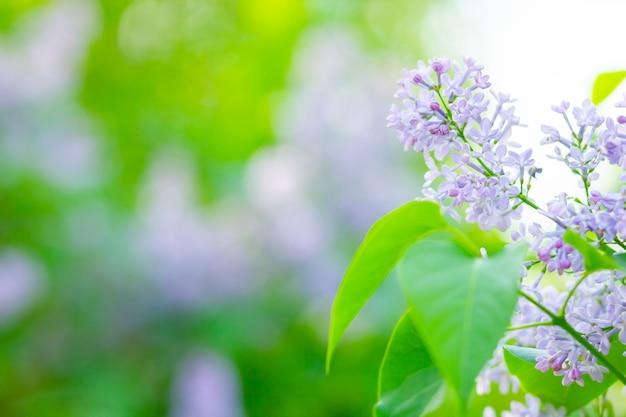 Ramo della primavera del lillà sbocciante. mazzo di fiori lilla su sfondo sfocato