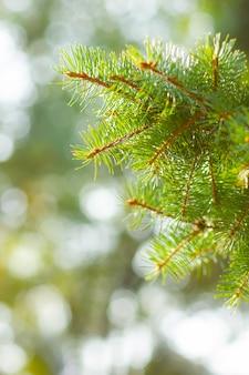 Ramo di abete verde naturale.