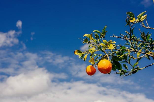 Ramo di arance. mondo della bellezza. sicilia italia europa.