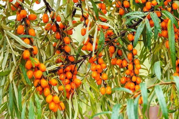 Ramo di bacche di olivello spinoso di mare arancione