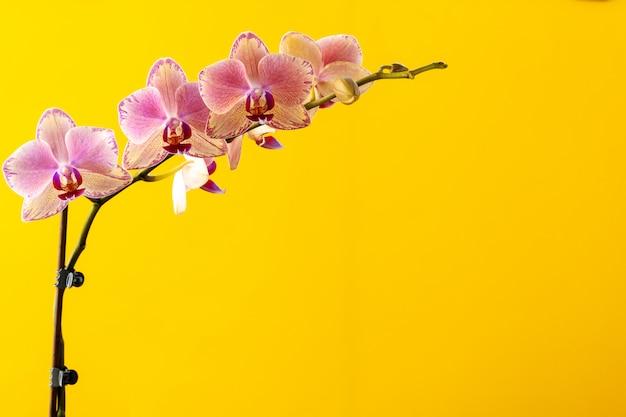 Ramo di fiori della fioritura dell'orchidea sulla fine gialla del fondo su