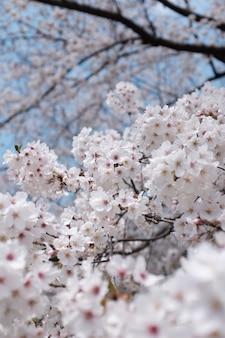 Ramo di fiori di ciliegio con un sfocato