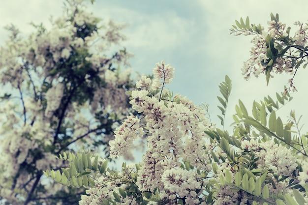 Ramo di fioritura di acacia bianca
