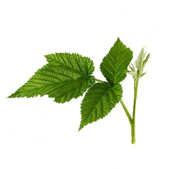 Ramo di lampone con un gambo verde e foglie su bianco