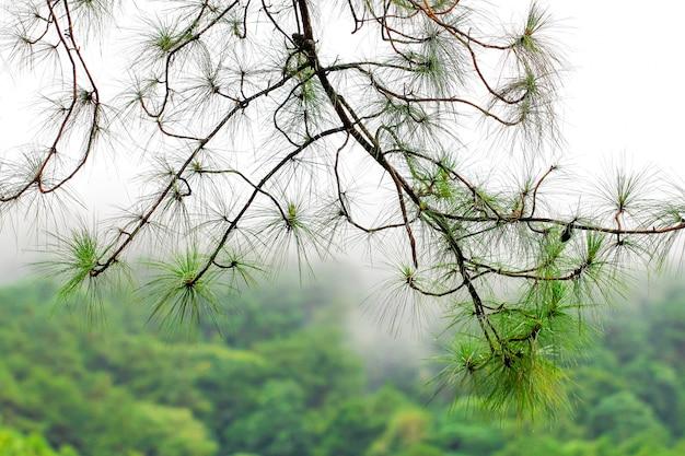 Ramo di pino dopo pioggia con soft focus