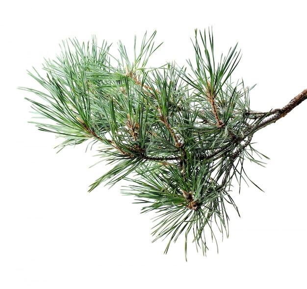 Ramo di pino lanuginoso isolato su bianco.
