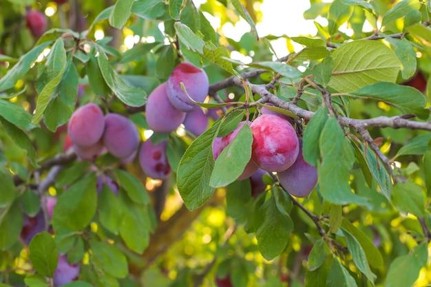 Ramo di prugna con frutti succosi, luce solare, giardino di prugne.