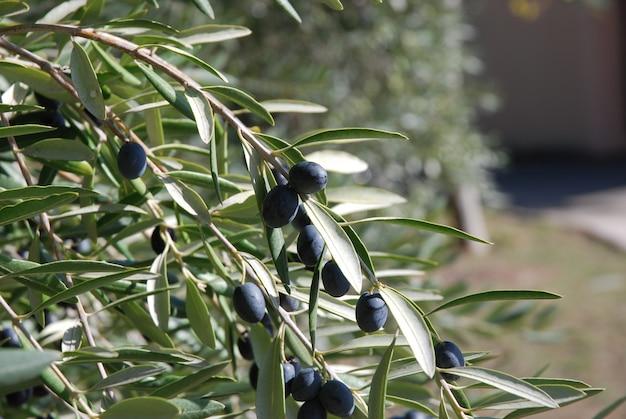 Ramo di ulivo che porta frutti
